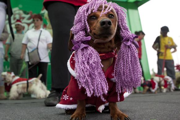 पेरू के लीमा में कुत्तों के लिए क्रिसमस कॉस्ट्यूम कॉन्टेस्ट के दौरान एक कुत्ता विग सिट्स पहने हुए।