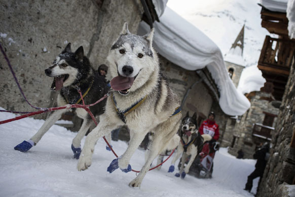 फ्रांस में बर्फीली सड़कों पर वजन ढोते कुत्ते।