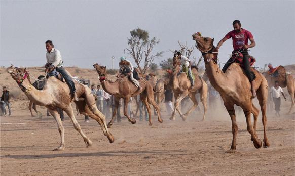 राजस्थान के बीकानेर के गांग लेडेरा में ऊंट रेस में भाग लेते प्रतिभागी।