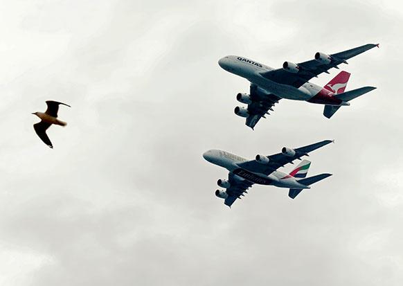 सिडनी हारबर के समीप इमिरेट्स A380 के साथ उड़ता एक समुद्री पक्षी।