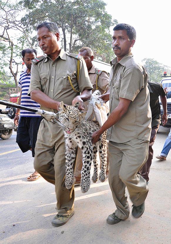 गुवाहाटी के रिहायशी इलाके से एक तेंदुए को पकड़कर ले जाते वन विभाग के कर्मचारी।