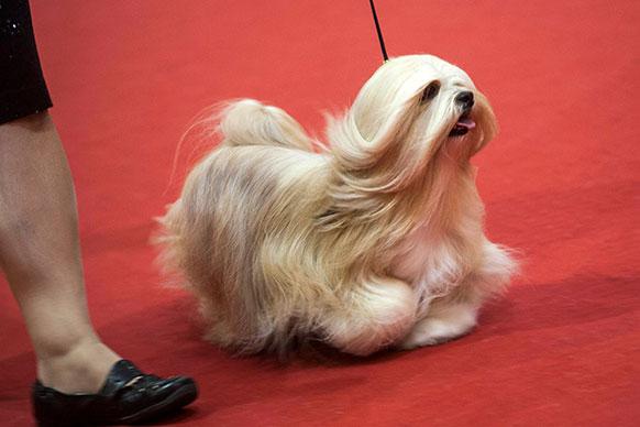 हंगरी के बुडापेस्ट में वर्ल्ड डॉग शो प्रतियोगिता में शिरकत करता एक कुत्ता।