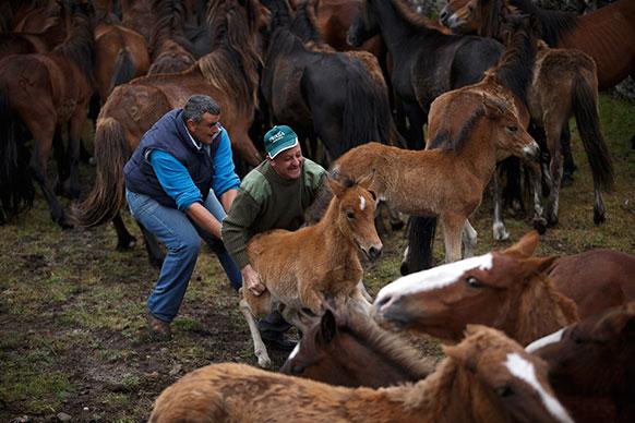 स्पेन में रापा डास बेस्टास के दौरान घोड़े के बच्चे को पकड़ते लोग।