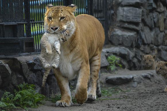 नोवोसिबिर्स्क चिड़ियाघर एक मादा बाघ अपने एक महीने के बच्चे को ले जाती हुई। इस शावक का पिता शेर है।