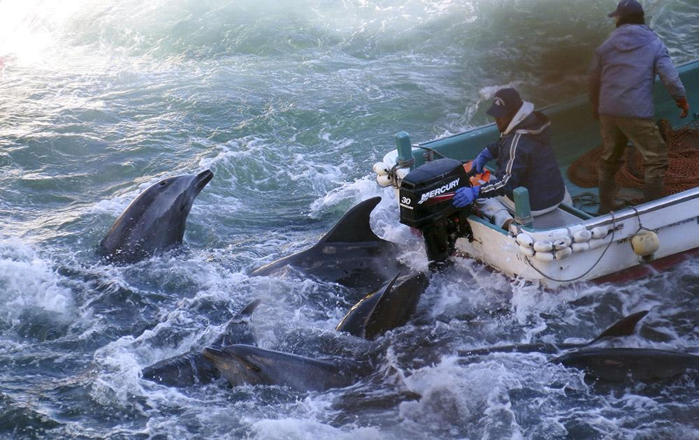 जापान के ताइजी में डोल्फिन मछली के साथ फिशरमैन।