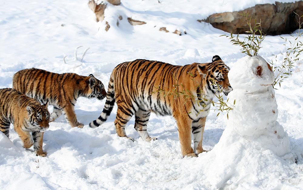 सेडवीक कंट्री जू में बाघों के लिए बर्फ की आकृतियों को बनाया गया है।
