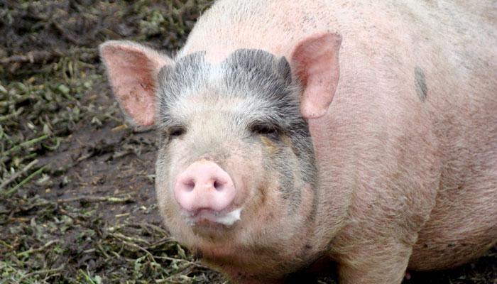 अब इंसानों में ट्रांसप्लांट किए जा सकेंगे सुअर के अंग
