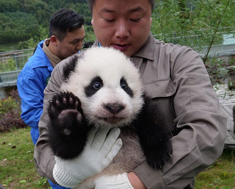 36 cute baby pandas make debut at China`s breeding centers
