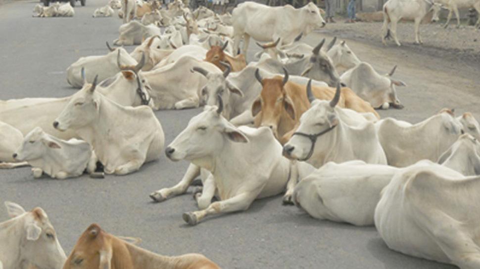 यहां गायों का भी बनेगा आधार, एक क्लिक पर मिलेगी सभी जानकारी