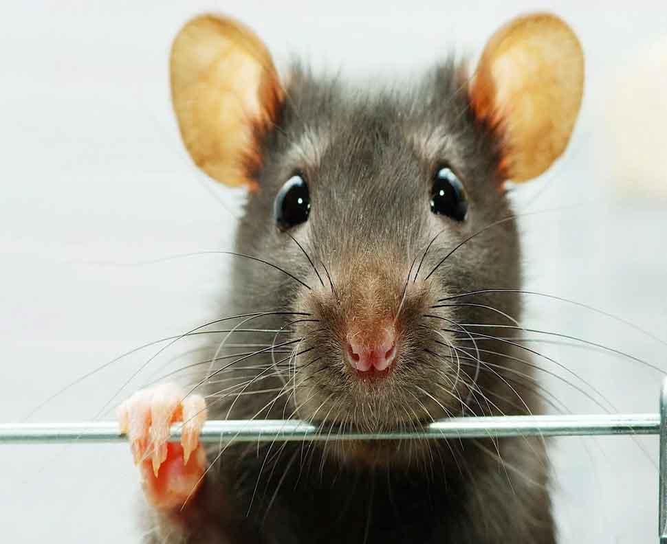 Japan will send war against rats-1
