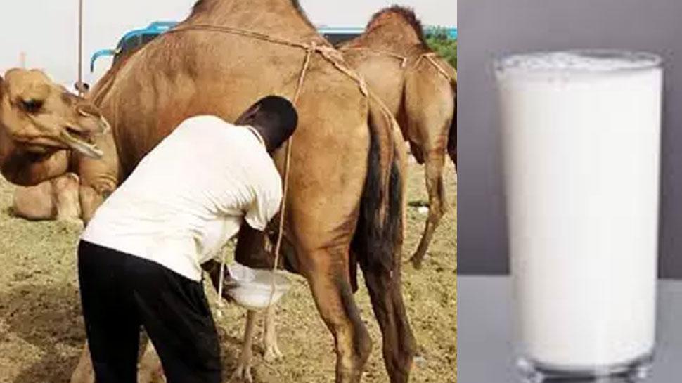 शोध: ऊंटनी का दूध पाउडर में तब्दील, करेगा बीमारियों का इलाज
