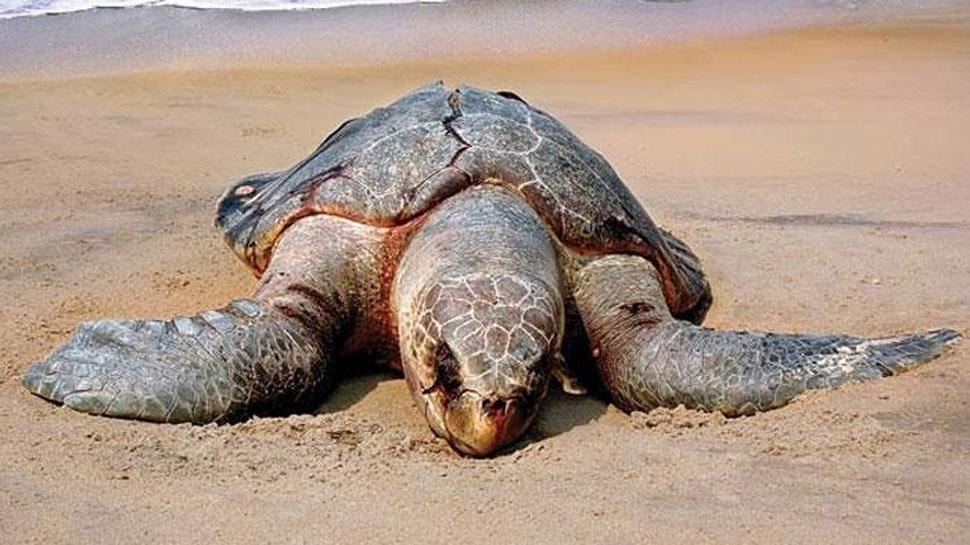 सभी समुद्री प्रजाति के कछुओं में पाया गया माइक्रोप्लास्टिक, रिपोर्ट में खुलासा