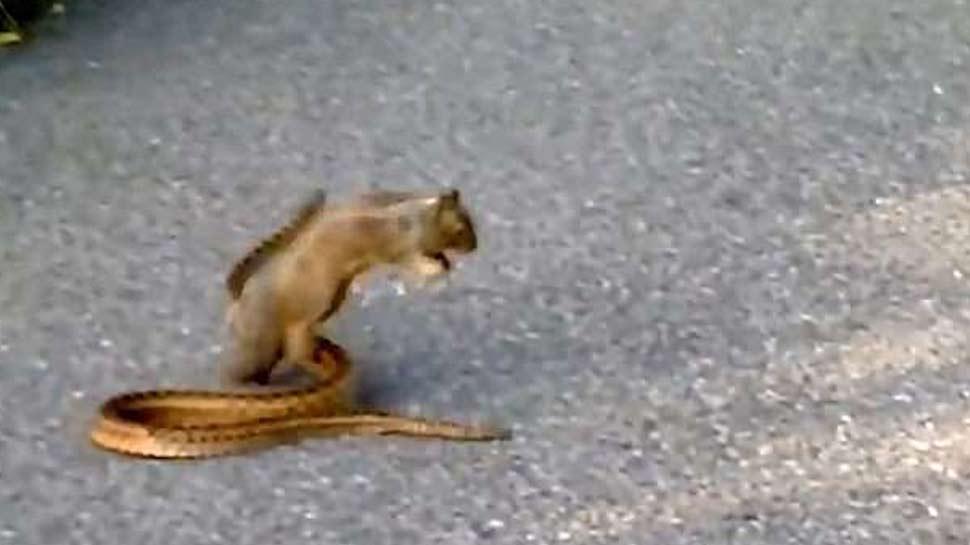 snake, snake squirrel fight, viral video, offbeat