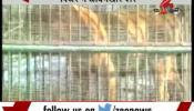पिंजरे में गिर के जंगलों के 13 आदमखोर शेर
