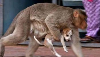 दिल जीत लेंगी पपी को प्यार करते बंदर की ये अद्भुत तस्वीरें