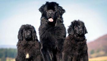 दुनिया के एक से बढ़कर एक विशालकाय कुत्ते