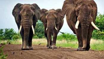 केंद्र ने राजस्थान सरकार को दिए पालतू हाथियों से फैल रहे टीबी की जांच के निर्देश