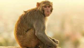 बागपत में बंदरों पर लगा हत्या का आरोप, पुलिस को मिली शिकायत