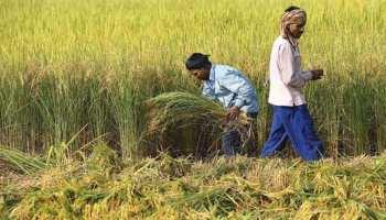 राजस्थान: धान की उचित कीमत न मिलने से किसान नाराज, बिगड़ सकती है चुनावी रणनीति