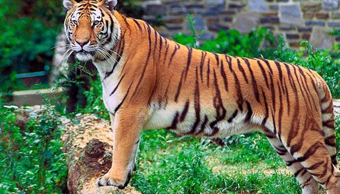 'दुनियाभर के जंगलों में सिर्फ 3200 बाघ बचे, सौ साल पहले थे 1 लाख बाघ'