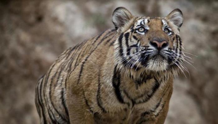दुनिया भर के बाघों में से 50 फीसदी रहते हैं भारत में