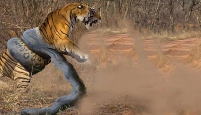 टाइगर और एनाकोंडा के बीच हैरतअंगेज जंग, वीडियो हुआ वायरल