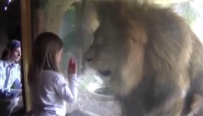 लड़की ने शेर के लिए उछाला 'किस', फिर जो हुआ उसकी उम्मीद नहीं थी, देखें वायरल वीडियो