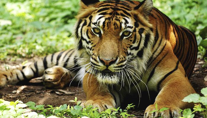 क्या भारत में बाघों की संख्या बढ़ा चढ़ाकर बताई गई ?