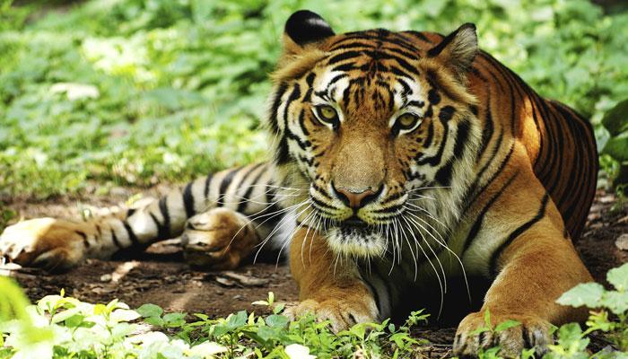 सन 2100 तक बंगाल टाइगर खो सकता है अपना अस्तित्व : स्टडी रिपोर्ट