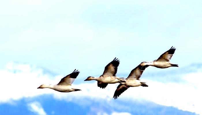उड़ते समय पक्षी बाधाओं से टकराये बगैर या आकाश से गिरे बिना ही सो सकते हैं:अध्ययन