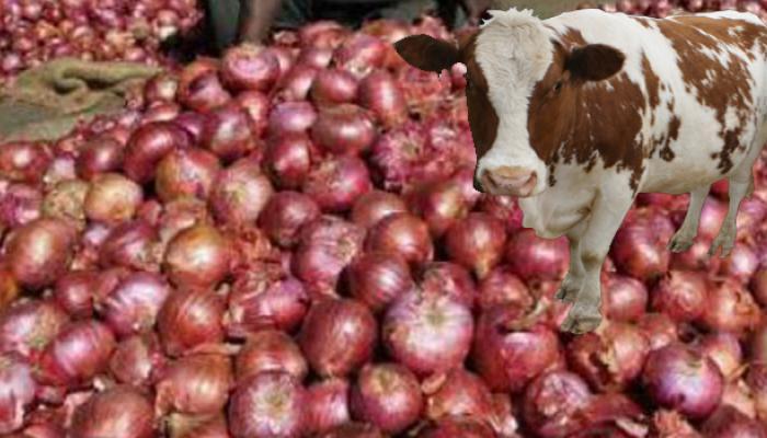 गाय, भैंस को प्याज खिला रहे हैं मप्र के किसान, दूध में गंध