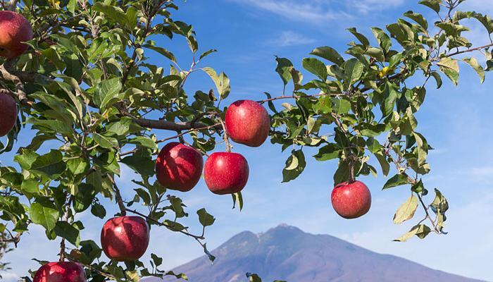 'सेब सबसे पहले चीन में पैदा हुआ, पश्चिमी देशों में नहीं'