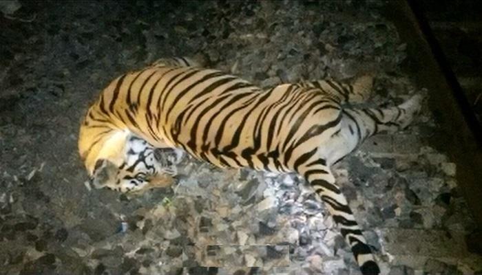 ट्रेन से टकराकर टाइगर की मौत