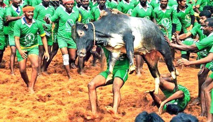 जल्लीकट्टू का मदुरै के आलंगल्लुर में कल होगा आयोजन, तमिलनाडु के मुख्यमंत्री करेंगे उद्घाटन