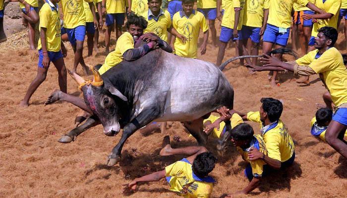 तमिलनाडु में जल्लीकट्टू का आयोजन; खेल के दौरान 2 और प्रदर्शन के दौरान एक की मौत
