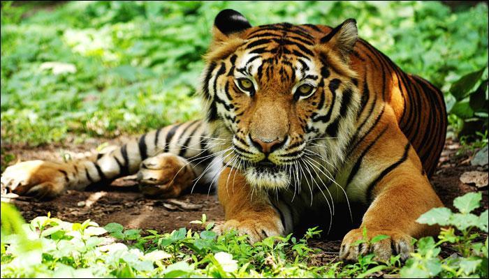 बाघ, तेंदुए और जंगली कुत्तों ने सीख लिया है एक-साथ रहना