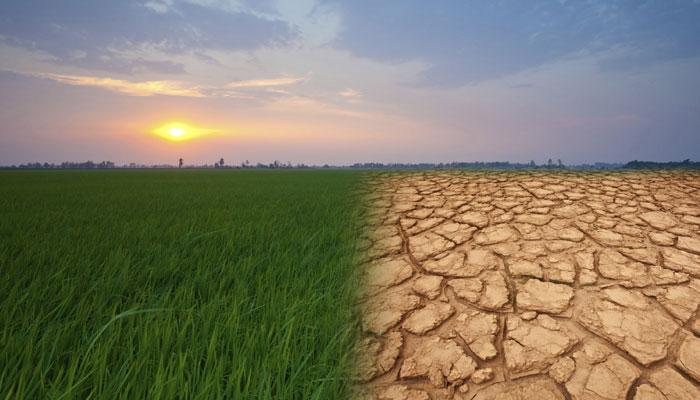 ग्लोबल वॉर्मिंग के चलते 2030 तक देश में आ सकता है 'चावल संकट'