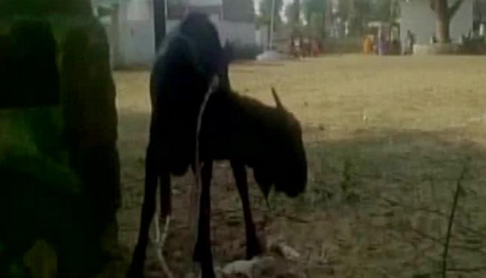 सपा सांसद के फार्म हाउस से बकरियां हुईं चोरी, पुलिस ने 24 घंटे में ही किया बरामद