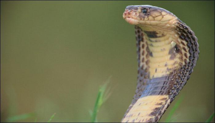 बहादुर लड़की ने किंग कोबरा को हाथों से पकड़ा, VIDEO