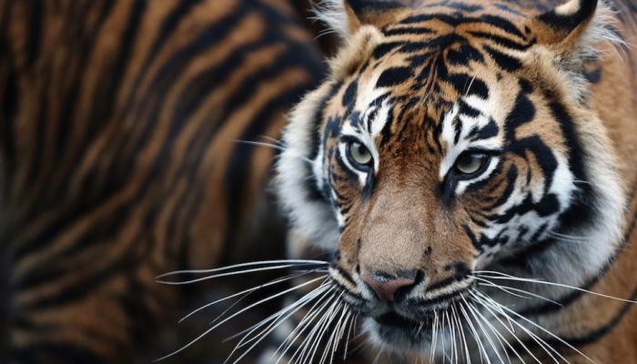 कभी बाघ थे इस राज्य की पहचान, अब 24 घंटों में हुई दो बाघों की मौत