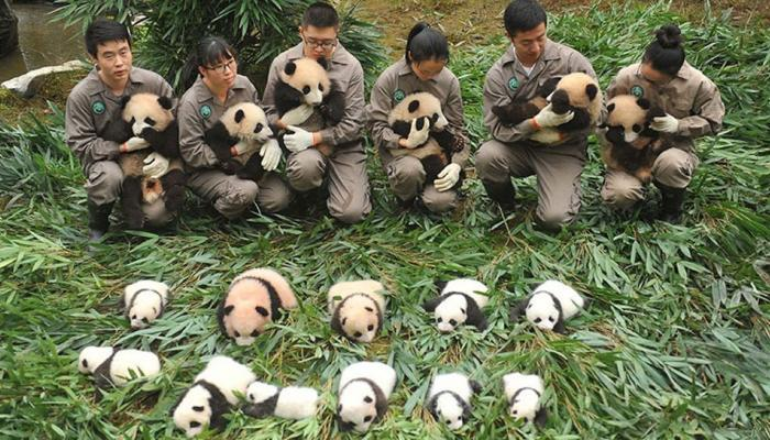 36 cute baby pandas make debut at China`s breeding centers