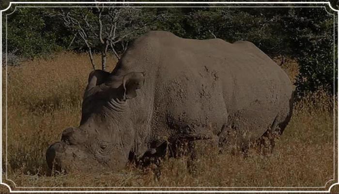 northern white rhino, dead,