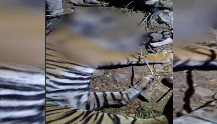 सरिस्का बाघ अभयारण्य में तारों में उलझा बाघ, हुई दर्दनाक मौत