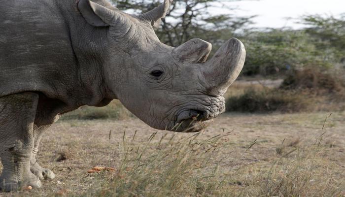 worlds last male northern white rhino ''Sudan'' dead