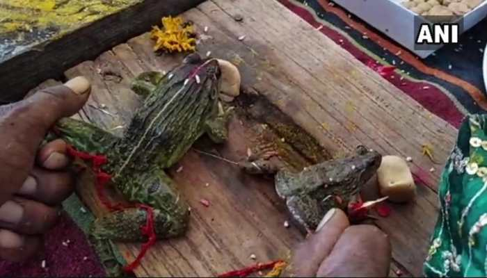 Wedding of two frogs organized as part of a ritual held in madhya pradesh to 'please rain gods'