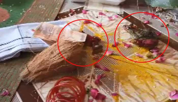 Frog marriage done in Hamirpur for rain