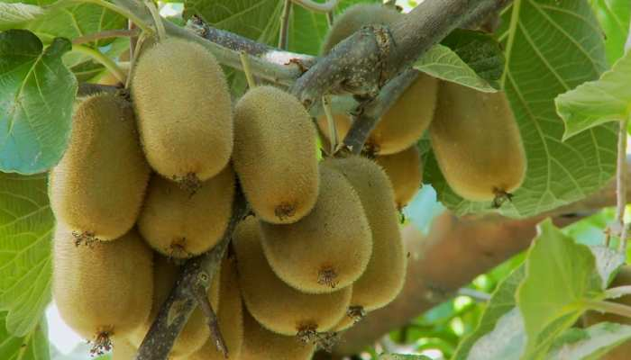 Health Benefits of Kiwi Fruit; The Healthiest Fruits for Body