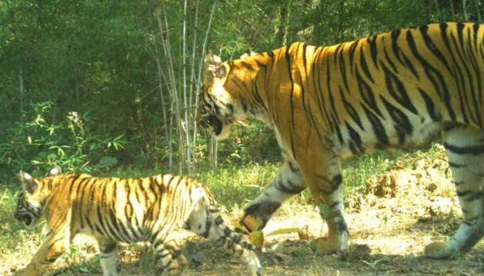 chandarpur tigress awarness by Forest department for people safety